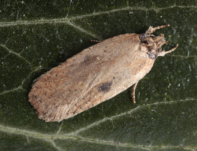 Basingstoke, Hampshire VC12, 26/03/2011, MV Light Trap, f. <i>rhodochrella</i>, Mike Wall (c) Mike Wall 2011