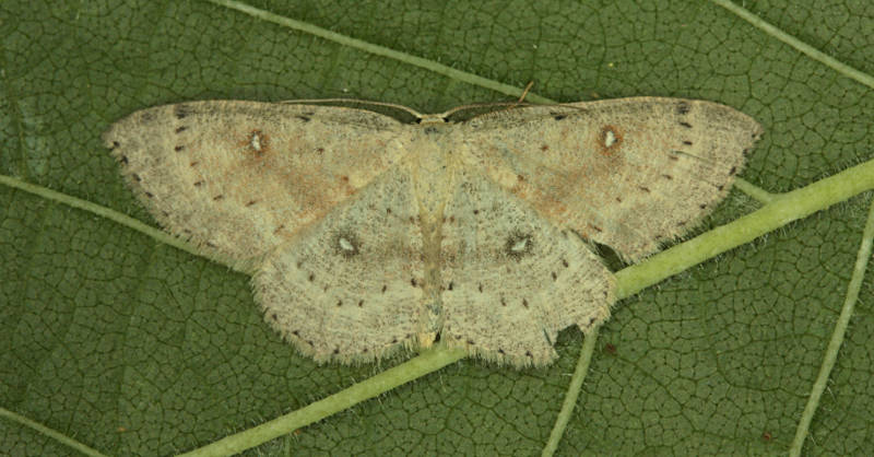 Basingstoke, Hampshire VC12, 27/07/2014, MV Light Trap, Mike Wall (c) Mike Wall