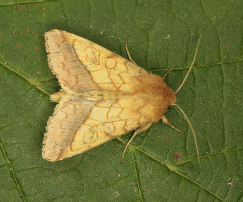 Magdalen Hill Down, Hampshire VC12, 19/07/2014, MV Light Trap, Mike Wall (c) Mike Wall