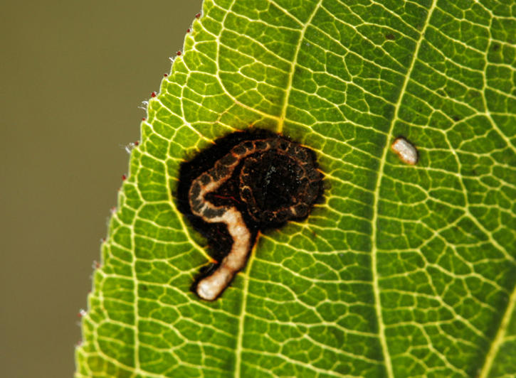Weston Colley, Hampshire VC12, 18/09/2010, Leaf mine, Leaf-mine on buckthorn, David G Green (c) David G Green 2010