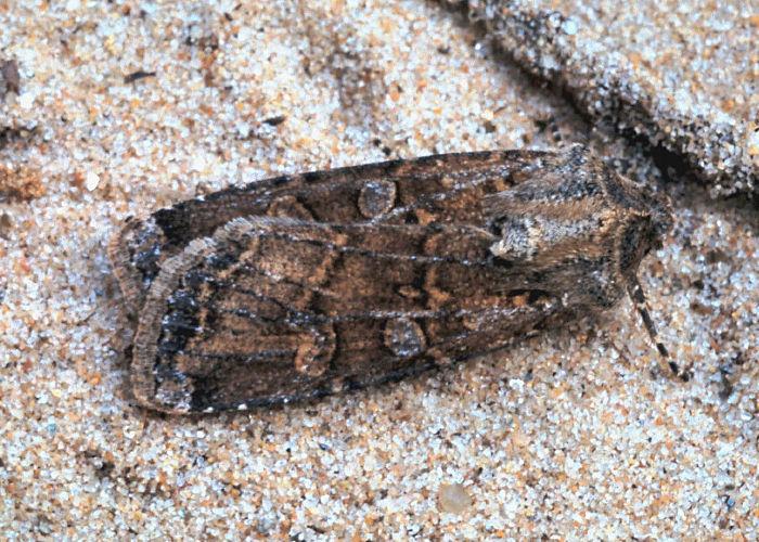 Hants Moths 73 311 2083 Coast Dart Euxoa Cursoria
