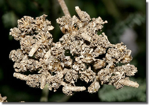 Cranborne, Dorset, 19/09/2005, Field observation, Larval cases on seedheads of yarrow, Dave Green (c) David G Green 2005