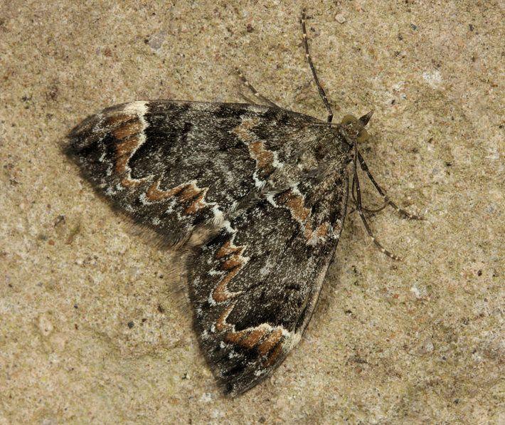 Carpet Moth Uk Carpet Vidalondon