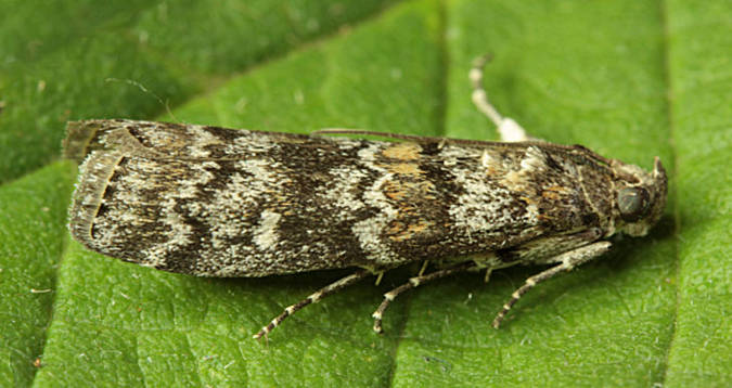 Basingstoke, Hampshire VC12, 17/08/2012, MV Light Trap, Mike Wall (c) Mike Wall 2012