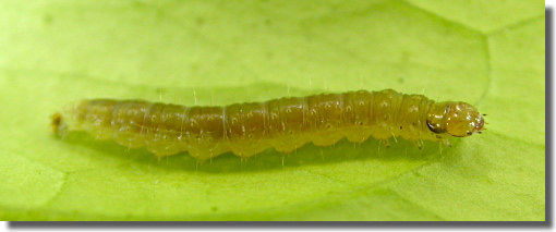 Weybridge, Surrey VC17, , Field observation, Larva from citrus, Andy Mitchell (c) Andy Mitchell 2006
