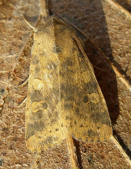 Sandy Point, Hayling Island, Hampshire VC11, 11/10/2009, MV Light Trap, Andy Johnson (c) Andy Johnson 2009