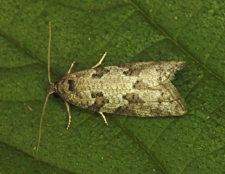 Basingstoke, Hampshire VC12, 25/06/2014, MV Light Trap, Mike Wall (c) Mike Wall
