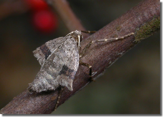 Lount NR, Leics., 12/01/2007, Found on Hawthorn, Female, Keith Tailby (c) Keith Tailby 2007