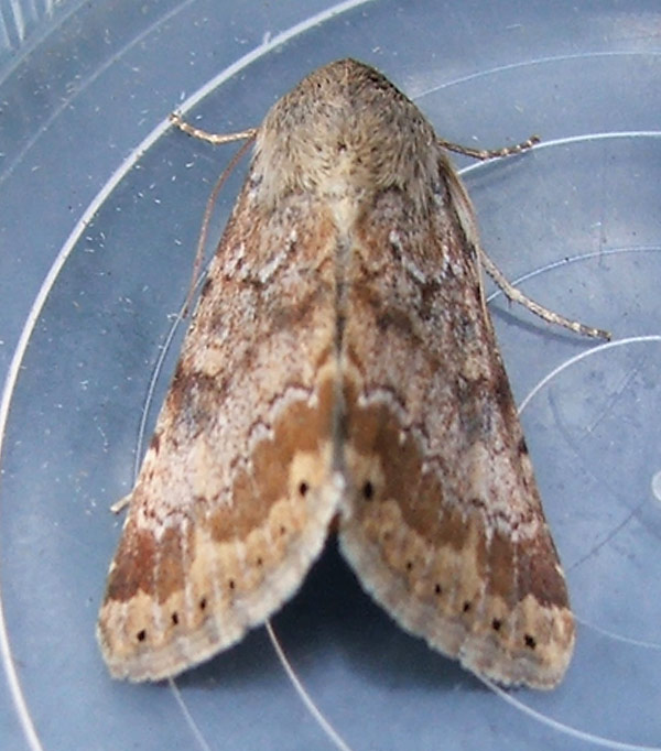 Highbridge, Hampshire VC11, 26/08/2006, MV Light Trap, Brian Hedley (c) Brian Hedley 2006