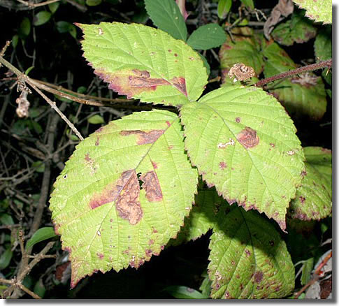 Brading, Isle of Wight, VC10, 13/10/2005, Leaf mine, Leaf mines on bramble, Dave Green (c) David G Green 2005