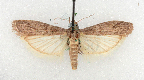 , Female. Courtesy of BMNH collection (c) Mike Wall 2011
