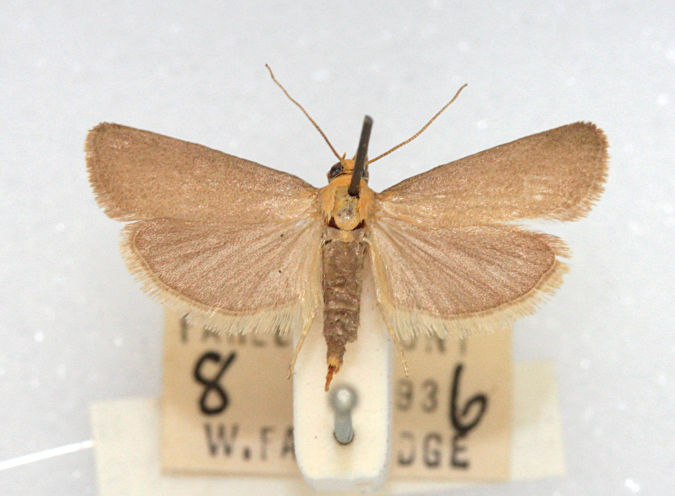 Farley Mount, Hampshire, , Female. Courtesy of BMNH collection, W.Fassnidge (c) Mike Wall 2011