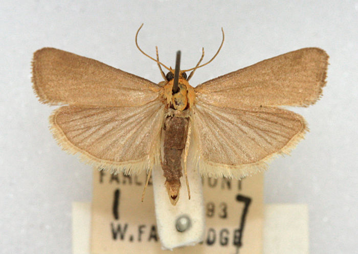 Farley Mount, Hampshire, , Male. Courtesy of BMNH collection, W.Fassnidge (c) Mike Wall 2011