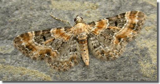Hants Moths 70 151 1817 Foxglove Pug Eupithecia Pulchellata