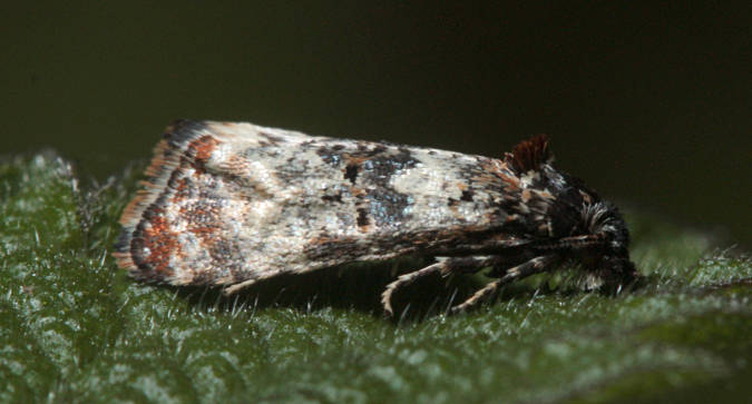 Morgaston Wood, Hampshire VC12, 22/05/2012, MV Light Trap, Mike Wall (c) Mike Wall 2012