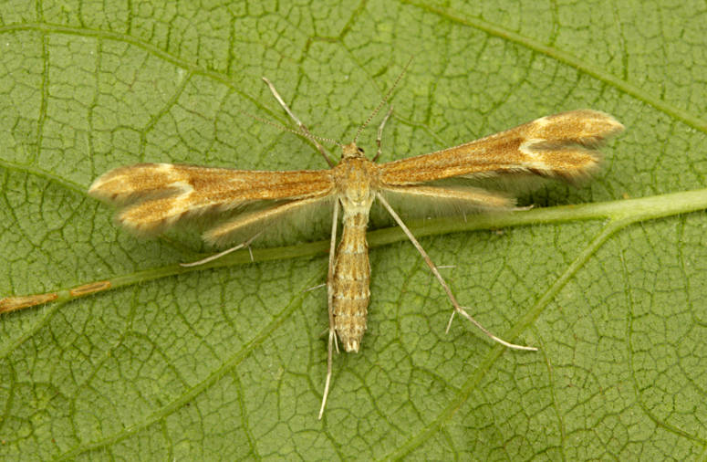 Magdalen Hill Down, Hampshire VC12, 02/07/2014, MV Light Trap, Mike Wall (c) Mike Wall