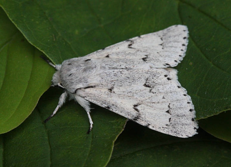 Basingstoke, Hampshire VC12, 21/06/2014, MV Light Trap, Mike Wall (c) Mike Wall