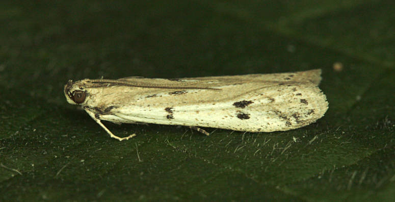 Sherborne St John, Hampshire VC12, 22/06/2014, MV Light Trap, Nick Montegriffo (c) Mike Wall