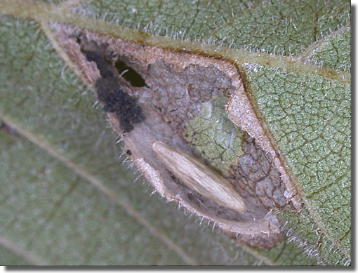 Greywell, Hampshire VC12, 18/09/2005, Field observation, Pupa in leaf mine on Elm, Paul Boswell (c) Paul Boswell 2005