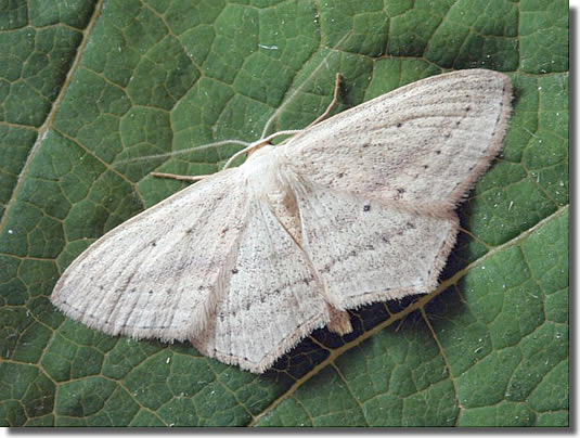Holmsley dismantled railway line, New Forest, Hampshire VC11, 01/07/2006, MV Light Trap, Dave Green (c) David G Green 2006