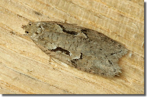 Holmsley Inclosure, New Forest, Hampshire VC11, 22/04/2006, MV Light Trap, Dave Green (c) David G Green 2006