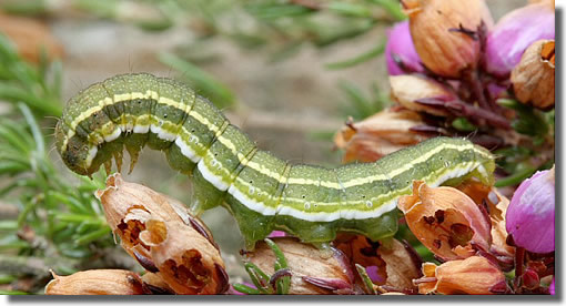 New Forest, Hampshire VC11, 23/08/2005, Sweeping, Full-grown larva swept from cross-leaved heath, Dave Green (c) David G Green 2005