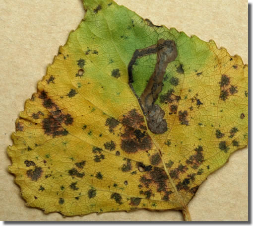 Woodlands, 21/10/2007, Leaf mine, Leaf-mine on Lombardy poplar, David G Green (c) David G Green 2007