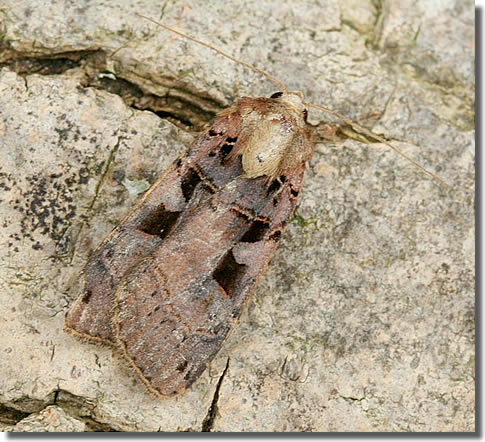 Badley Wood Common, Herefordshire, 16/07/2005, MV light trap, Dave Green (c) David G Green 2005
