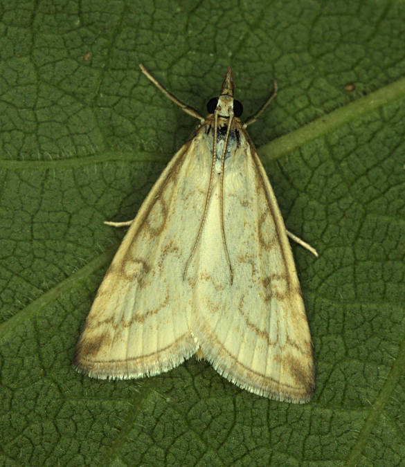 Old Burghclere HIWWT NR, Hampshire VC12, 23/07/2013, MV Light Trap, Alison Cross & Mike Wall (c) Mike Wall 2013
