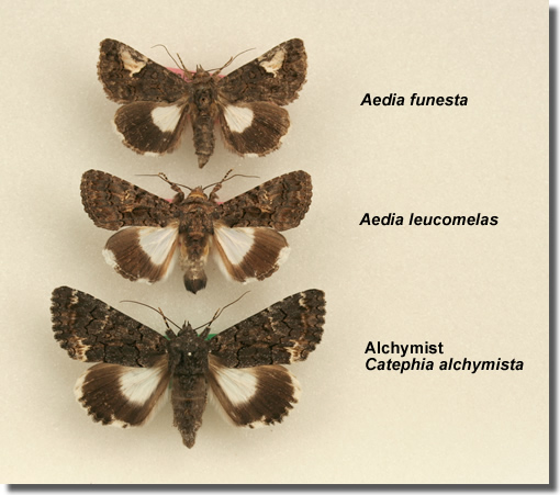 , The Alchymist and related species for comparison, Courtesy of Barry Goater (c) Tim Norriss 2006