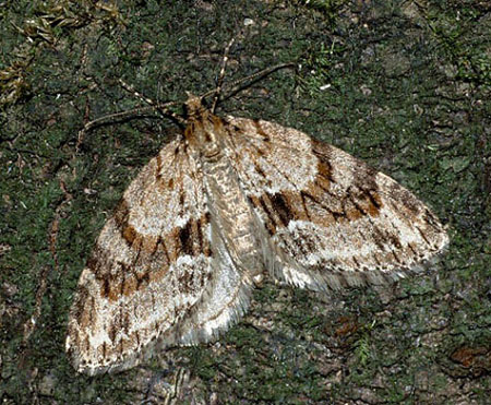 East Sussex, , Bred, from captured moth, Dave Green (c) David G Green 2004