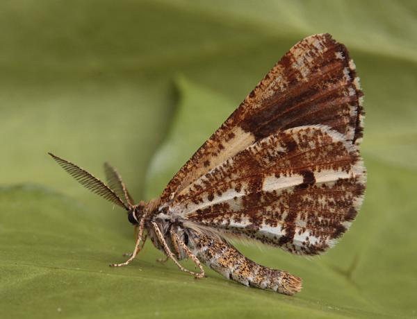 Hogmoor Inclosure, Bordon, Hampshire VC12, 06/06/2009, MV Light Traps, Nick Montegriffo (c) Mike Wall 2009