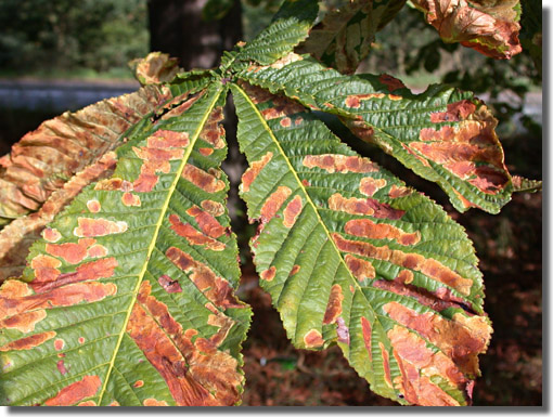 Barnes, Middlesex, 09/09/2004, Field observation, Leaf-mines on Horse Chestnut, Mike Wall (c) Mike Wall 2004