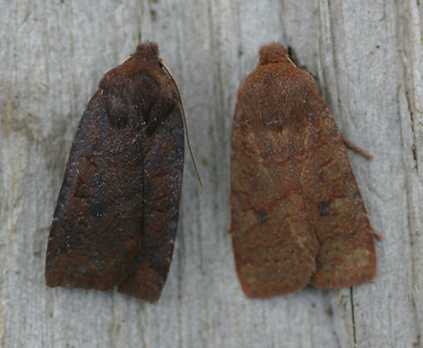 Bowness-on-Solway, Cumbria, 14/10/2008, MV Light Trap, Comparison between Dark Chestnut (left) and Chestnut (right), Liz Still (c) Liz Still 2008