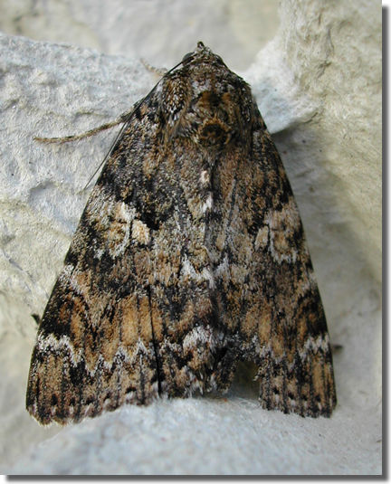 Upper Inhams Copse, Pamber, Hampshire VC12, 16/08/2007, MV Light Trap, Graham Dennis (c) David Jewsbury 2007