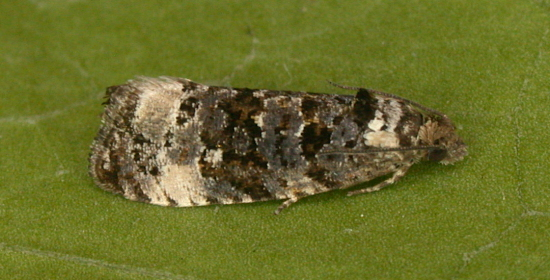 Magdalen Hill Down, Hampshire VC12, 10/05/2008, MV Light Trap, Mike Wall (c) Mike Wall 2008