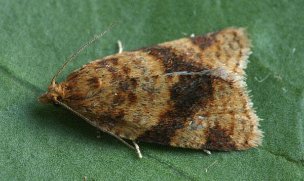 Ladycross Inclosure, New Forest, Hampshire VC11, 28/07/2008, MV Light Trap, Mike Wall, Dave Green et al (c) Mike Wall 2008