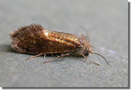 Sưu tập Bộ cánh vẩy  Eriocrania_chrysolepidella_re
