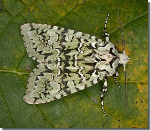 hants moths 2247 merveille du jour griposia aprilina. Black Bedroom Furniture Sets. Home Design Ideas