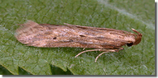 Southington, Overton, Hampshire VC12, 28/05/2004, 125W MV over sheet, Public session on behalf of Overton Biodiversity Society, courtesy of Jane and Ken MacKenzie, Mike Wall, Peter Hutchins, Nick Montegriffo et al (c) Mike Wall 2004