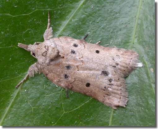 Greywell, Hampshire VC12, 12/09/2006, Attracted to house lights, f. <i>notata</i>, Paul Boswell (c) Paul Boswell 2006