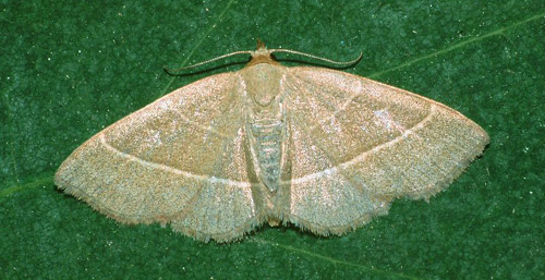 Bialowieza, Poland, 28/05/2000, MV light trap, Dave Green (c) David G Green 2004