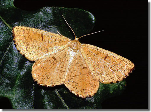 Morgaston Wood, Hampshire, 11/06/1999, MV light trap, Dave Green (c) David G Green 2004