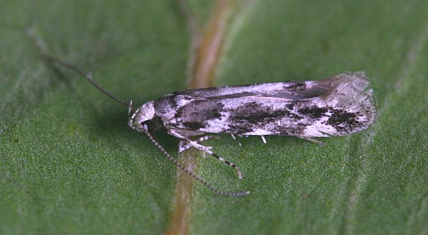 Black Wood, Micheldever, Hampshire VC12, 01/07/2008, MV Light Trap, Colin Plant & Mike Wall (c) Mike Wall 2008