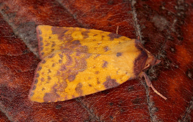 Southington, Overton, Hampshire VC12, 18/09/2009, MV Light Traps, Mike Wall (c) Mike Wall 2009