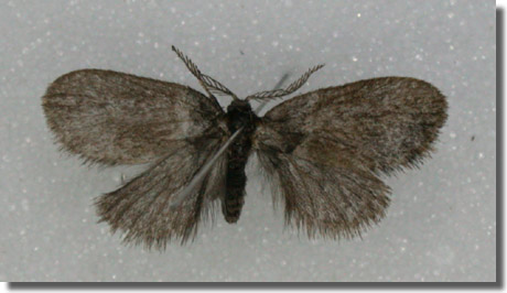 Greywell, Hampshire VC12, 05/06/2005, Attracted to house lights, In coll. MJW; as above, Paul Boswell (c) Mike Wall 2005
