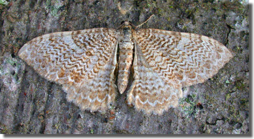 Hook Common HWT Nature Reserve, nr. Hook, Hampshire VC12, 10/07/2004, 125W MV over sheet, Tim Norriss, Mark Trasenster & Mike Wall (c) Mike Wall 2004