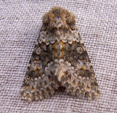 Fleet, Hampshire VC12, 01/07/2009, MV Light Trap, Second Hampshire record, Graham Stephenson (c) Graham Stephenson 2009