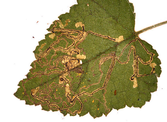 Pamber Forest HIWWT NR, Hampshire VC12, 11/10/2009, Field observation, Mine on Betula, John Langmaid, Rob Edmunds, Mike Wall et al (c) Mike Wall 2009