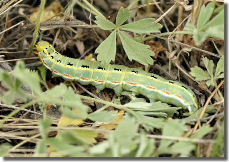 Bukk Hills, north-east Hungary, 08/06/2005, Field observation, Larva, Dave Green (c) David G Green 2005
